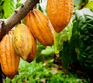 This image has an empty alt attribute; its file name is Cacao-tree-300x266.jpg